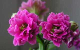 Розовый каланхоэ