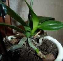 Как орхидея дает отростки