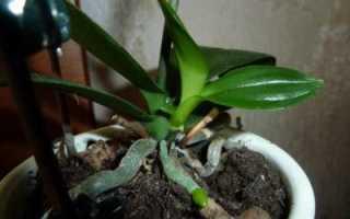 Орхидея выпустила детку что с ней делать