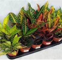 Как размножить кротон листом в домашних условиях