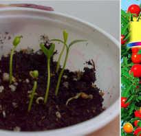 Паслен комнатное растение