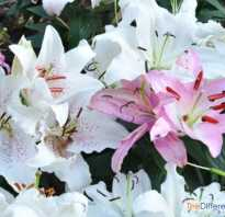 Какие лилии пахнут восточные или азиатские