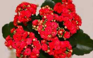 Каланхоэ сколько раз в год цветет