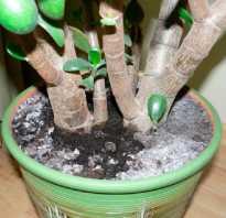 Белая плесень на земле комнатных растений