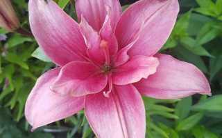 Бордовые лилии