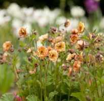 Аурелия цветок