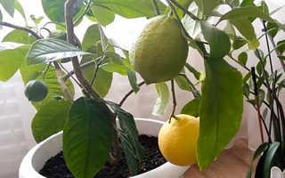 Лимон майкопский