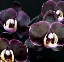 Черная птичка орхидея