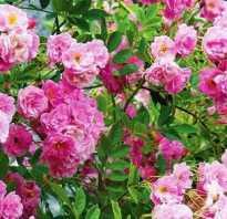Как выращивать плетистые розы