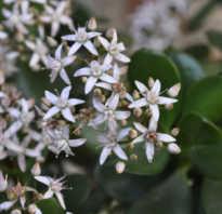 Денежное дерево цветет или нет