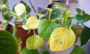 Почему у бальзамина желтеют листья и опадают