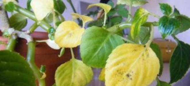 Почему желтеют листья у бальзамина комнатного