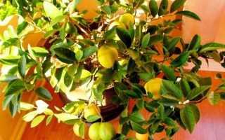Лимонное дерево в домашних условиях как ухаживать