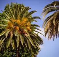 Как цветет пальма