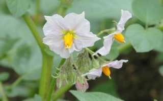 Картофельные цветы в народной медицине