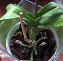 Что делать если у орхидеи вялые листья