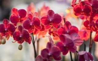 Орхидея цвет это какой