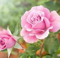 Чем осенью подкормить розы