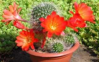 Какие кактусы цветут в домашних условиях