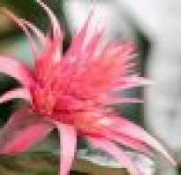 Цветок бромелия уход в домашних условиях