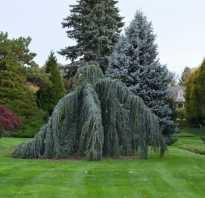 Дерево с мягкой хвоей