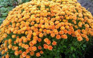 Хризантема альпийская