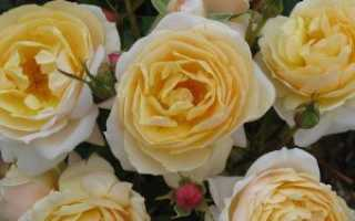 Роза вирджиния