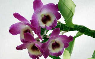 Кустовая орхидея
