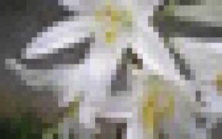 Переопыляются ли лилии растущие рядом