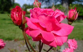 Роза александр маккензи
