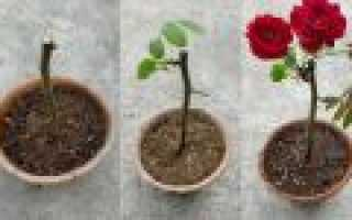 Как вырастить розу из срезанной розы