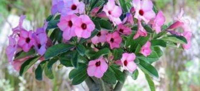 Сколько цветет адениум