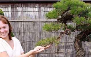 Японская сосна