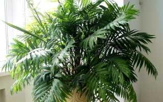 Хамедорея сохнут листья что делать