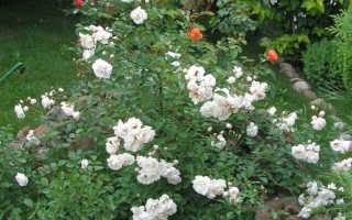 Роза фиона