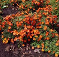 Лапчатка кустарниковая уход и выращивание обрезка