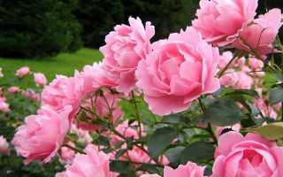 Пион пинк роза