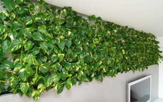 Плющ садовый вечнозеленый морозостойкий