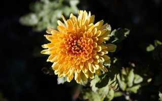 Выращивание хризантемы в домашних условиях