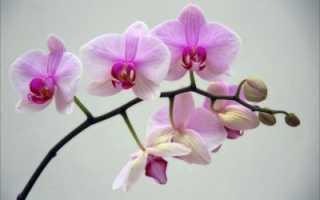 Как сделать чтобы зацвела орхидея