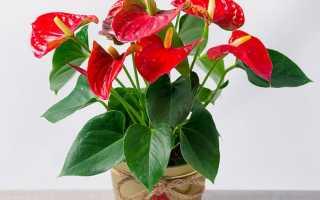 Цветок антуриум красный как ухаживать