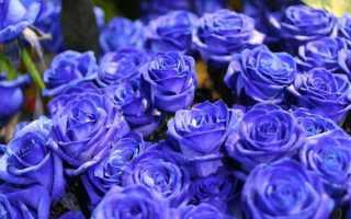 К чему дарят синие розы