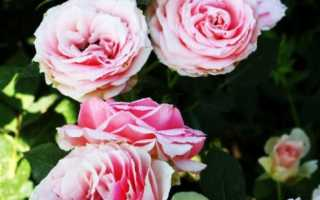 Роза баллада флорибунда