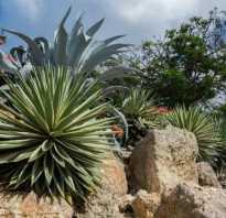 Цвет агава