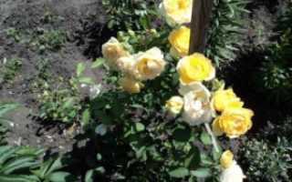 Теневыносливые розы