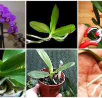 Черенкование орхидей в домашних условиях