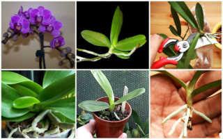 Как разводить орхидею в домашних условиях