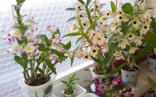 Орхидея дендробиум размножение