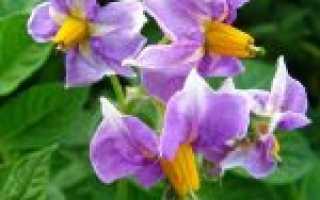 Настойка цветков картофеля на водке применение
