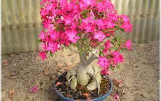 Роза пустыни цветок уход